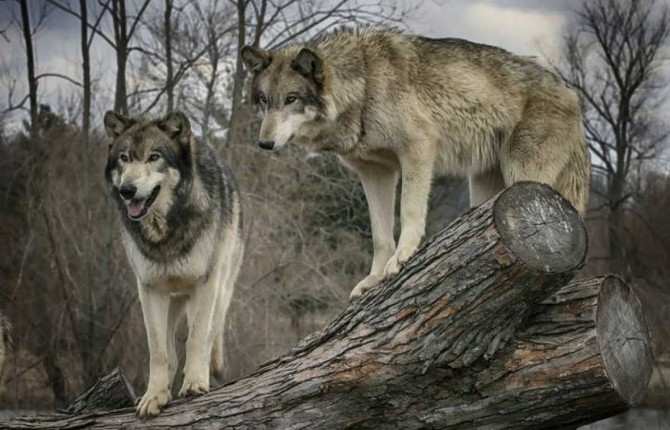 ANIMAL IMPONENTE. Lobos en Sierra Morena, un animal casi extinguido en la provincia.